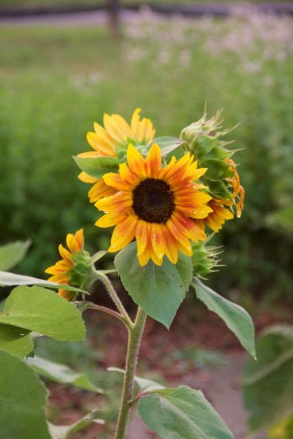 Volunteer sunflowers